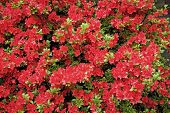 Design Your Summer With Style. Summer Bloom. Flowering Bush In Summer Garden. Red Flowers Blossoming poster