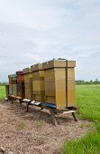 image of bee keeping  - Row of wooden bee hives in the Dutch National Park De Biesbosch - JPG