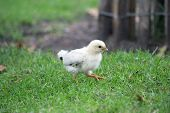 Fluffy Little Chick Walks On The Grass. Funny Cute Chick Wild Birds. Chibis Chick Walks In Nature. F poster