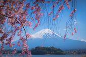 Japan Travel, Mt Diamond Fuji And Snow At Kawaguchiko Lake In Japan, Sakura Tree Side Walkway In Sid poster
