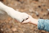 Dog Is Giving Paw To The Woman. Dogs Paw In Humans Hand. Domestic Pet poster