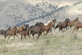 stock photo of wild horses  - Horses stampeding on a Montana horse ranch - JPG
