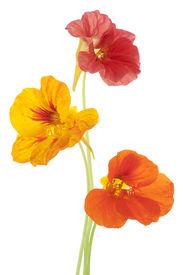 picture of nasturtium  - Studio Shot of Orange Colored Nasturtium Flowers Isolated on White Background - JPG