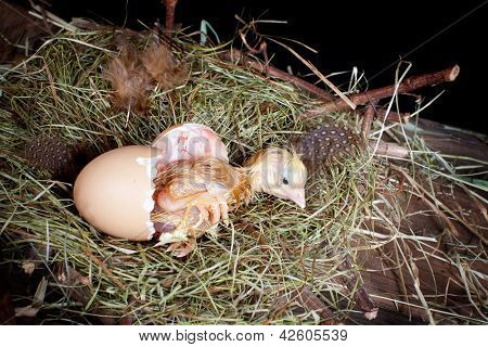 Little baby chick hatching from its egg