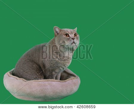 Adorable British Short Hair Cat in the Catnap Isolated on Green Background