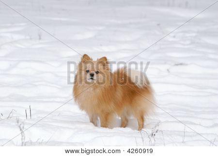 Spitz-dog