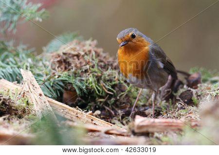 robin (Erithacus rubecula) in a winter garden