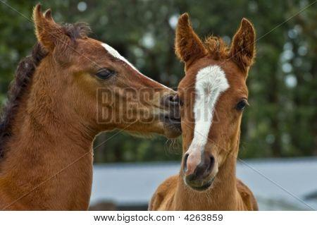 Affectionate Foals