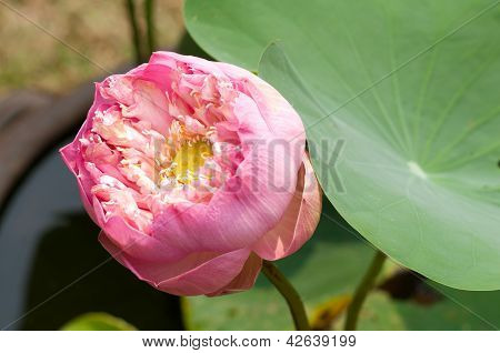 Pink Blooming Lotus Flower