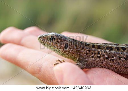 Lizard On A Palm