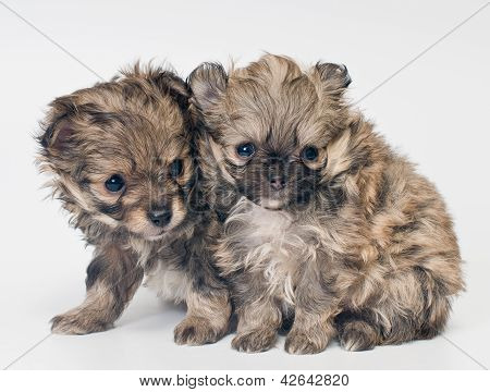 Two Puppies In Studio
