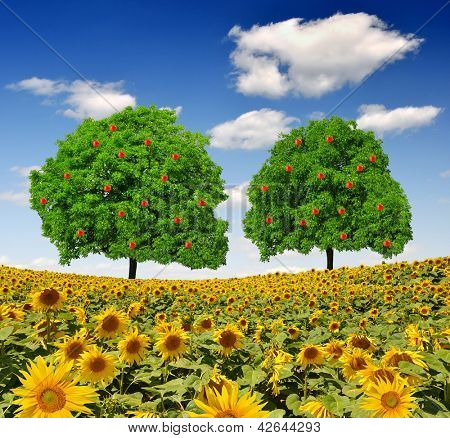 Apple  trees on sunflower field