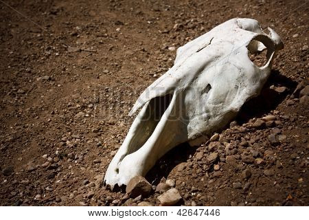 animal skull on the ground