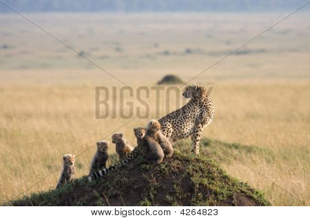 Cheetah With 5 Cubs