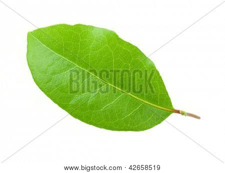 Laurus leaf isolated on white background