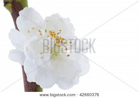Closeup Of A White Apricot Blossom