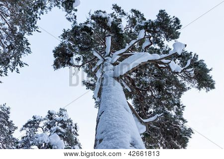 Forest With Snow On Pine Trees