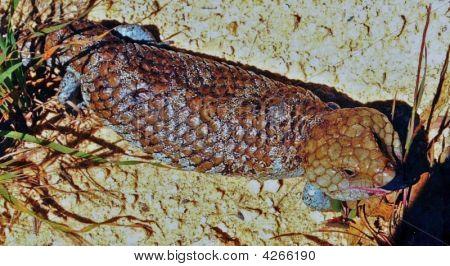 Bobtail Lizard