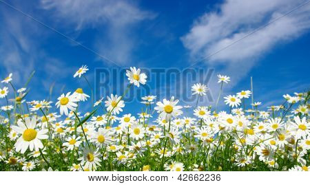 white daisies on sky