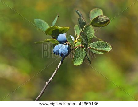 Bog Northern Bilberry . Green nature background. Vaccinium uliginosum