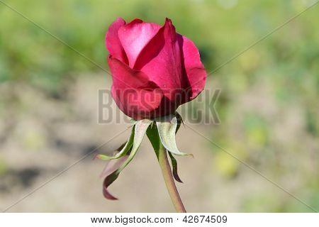 Rose in garten