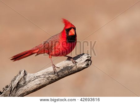 Bright red Cardinalis cardinalis, Northern Cardinal male sitting on a dry limb against muted winter background