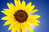 Close-up Of Sunflower On Blue Sky