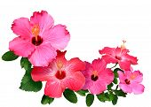 stock photo of hibiscus flower  - Pink and red Hibiscus flowers isolated in white with copy space - JPG