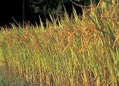 Barley Crops poster