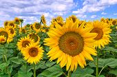 stock photo of sunflower-seeds  - Panoramic view of a field with sunflowers - JPG