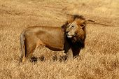 image of wind blown  - Male Lion with large mane stands strong in the savannah while it is blown by the wind - JPG
