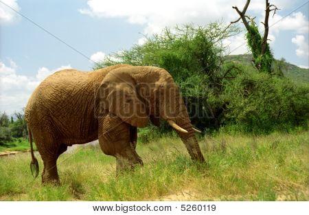 African Elephant, Samburu Game Reserve, Kenya