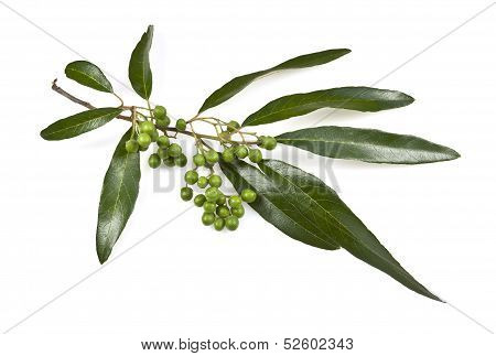 Gum Tree Leaves and Fruit
