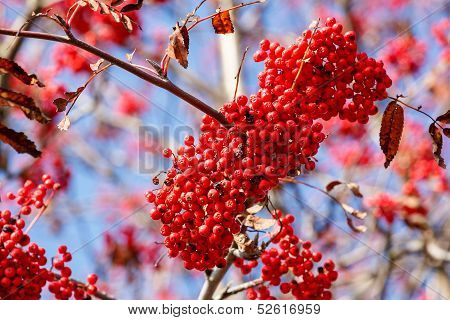 Detail Of Rowan Berries (sorbus Aucuparia)