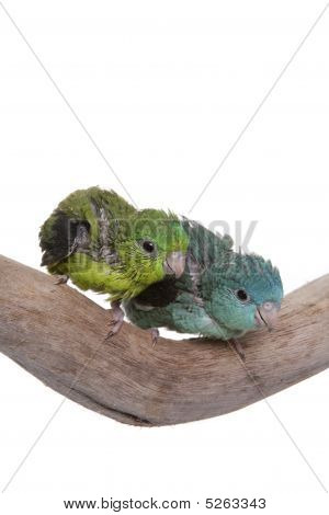 Parakeet, Lineolated, Baby, Isolated On White