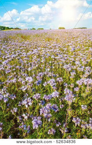 Field of blooming Lacy phacelia (Phacelia tanacetifolia) with a shining sun