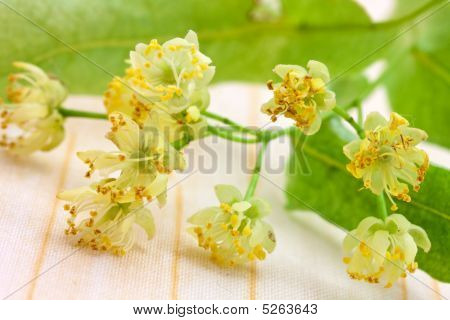 Lime Blossom -tilia Platyphyllos . Close Up Shot.