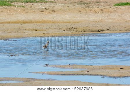 Wading baby bird Pied avocet walking in nature water