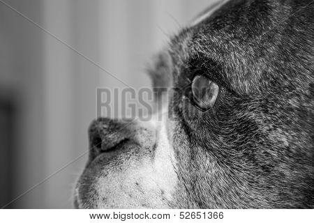 Old Boxer Dog