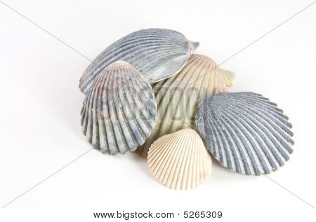 Muted Shells