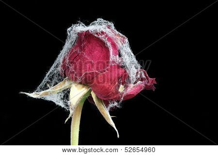 Withered rose