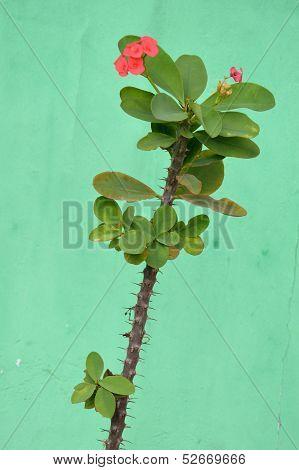 Crown Of Thorns Flowers