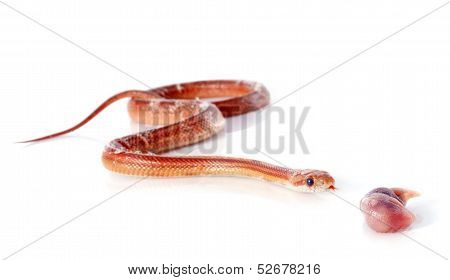 Eating Corn Snake