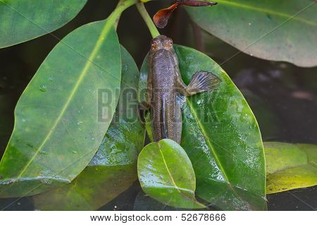 Mudskipper Crawling Out Of Water On Leaf
