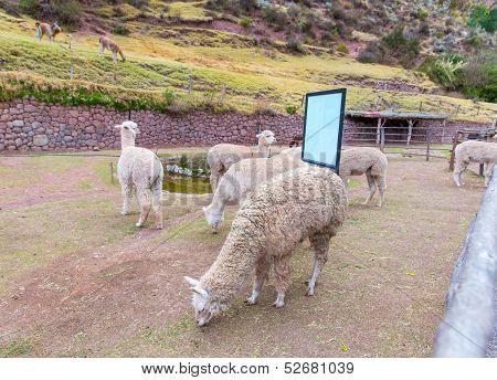 Farm of llama,alpaca, Vicuna in Peru, South America. Andean animal