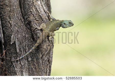 Blue Headed Tree Agama, Tanzania
