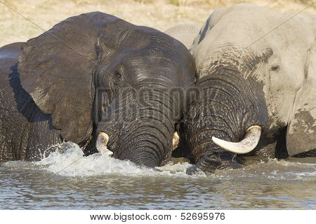 Two Bull African Elephants In Water, South Africa