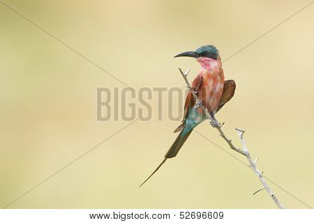Southern Carmine Bee-eater (merops Nubicoides), South Africa