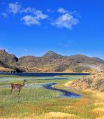 A graceful guanaco stands on the shore of blue lake, overgrown with grass and reeds. Patagonia natio