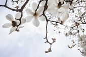 picture of magnolia  - Close - JPG